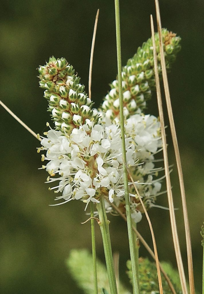 Native plants support the entire food web by providing food for insects, birds … White Prairie Clover Knowledgebase Johnson S Nursery